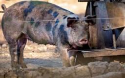 Vendo filhotes de porco com javas