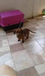 Cachorro Raça  Basset Hound ( salsicha)