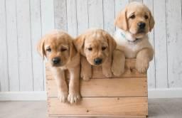 Lindos Filhotes de Labrador com pedigree
