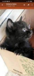 Gatinhos e gatinhas cor de ébano