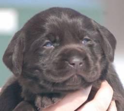 Maravilhosos Labradores, Machos disponiceis