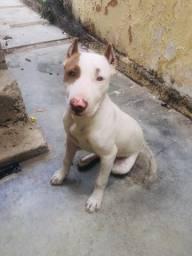 Pitbul american terrier
