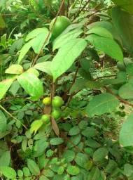 Frutiferas  em produção