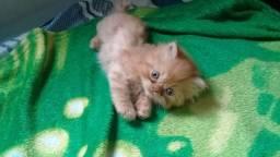 Lindos filhotes de Gato Persa a pronta entrega-PARCELO