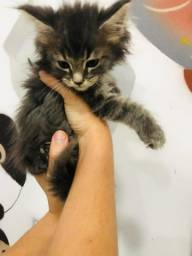 Maine Coon - Filhotes disponivel