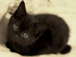 Gato pantera negra bombay bombaim filhotes