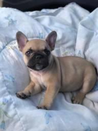 Bulldog Francês Braco Francês