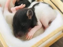 Rato twister pré-venda