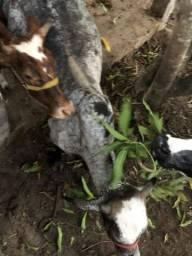 Leite fresco de gado