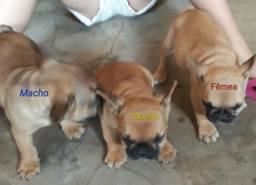 Vendo 3 bulldog francês pelo preço de 2 apenas 4.000 reais