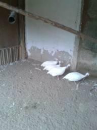 Vendo terno de Angola Branca adulta em postura