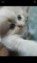 Gato persa tem um casal