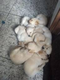 Filhotes de Golden Retriever com Labrador pedigree