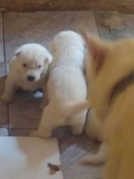 Cachorro pasto suíço