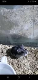 Hamster Anão Russo - Filhotes