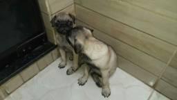 Vendo cachorro rança pugg