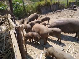 Porcos caipiras lote