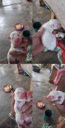 filhotes de american pittbull terrier. leia a descrição