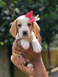 Beagle fêmea filhote 13 polegadas com toda documentação - Disponível