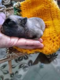 Filhote pug fêmea