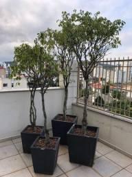 Arvore Ficus