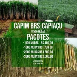 Capim BRS Capiaçu