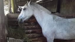 Égua crioula de montaria