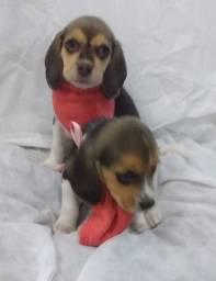 Beagle 13 polegadas snoopy filhotes parc/entrego hoje chama no zap