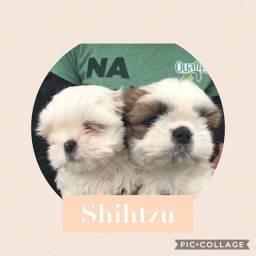 Shih Tzu com pedigree e microchip em até 18x