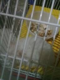 hamster albina ou pra vender ou trocar