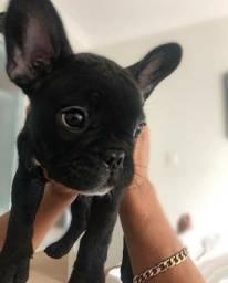 Bulldog Francês Macho ja adestrado no tapete higiênico