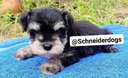 Schneider dogs