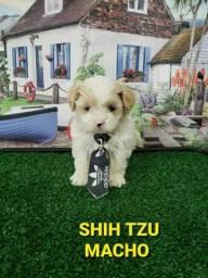 Shihtzu macho branco e dourado a venda