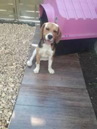 Cachorra da raça beagle