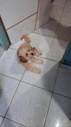 2 cachorro poodle