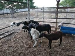 Venda de ovelhas