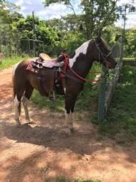 Cavalo castrado marchador