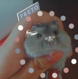 Hamster(anão russo)