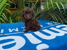 Filhote de Poodle Microtoy chocolate!