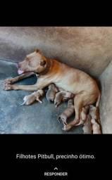 Venda de filhotes pitbull