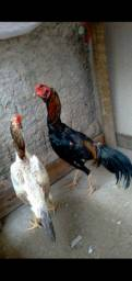 Casal de galinha