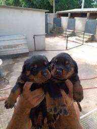 Filhote FEMEA rottweiler 50 dias