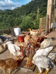 aves caipira galinha caipira pintinhos frangos patos pouso alto