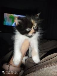 Filhote de gato persa snow e persa pet