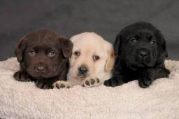 Filhotes de Labrador puro lindíssimos