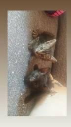 Doação gatos macho