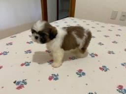 Shitzu micro c pedigree
