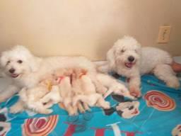 Filhos de poodle