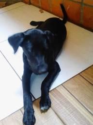 Labrador filhote Femea