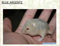 Hamster Anão Russo Blue Agente